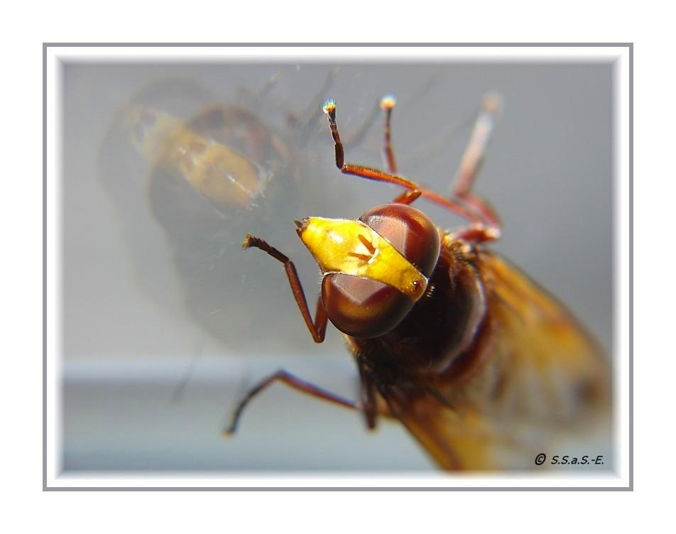 Hornissenschwebfliege (Volucella zonaria)