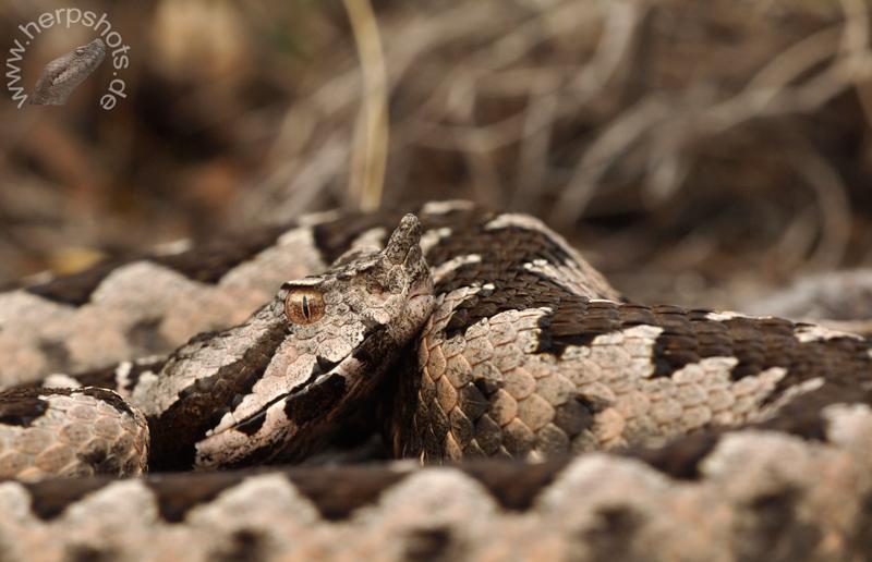 Hornotter in Bulgarien (Vipera ammodytes ammodytes)