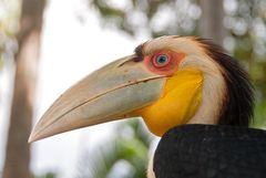 Hornvogel auf  Bali