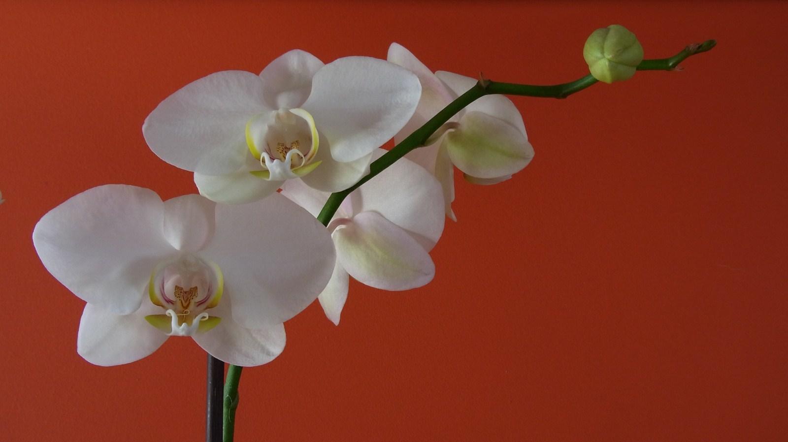 Horquídea blanca