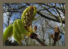 Horse chestnut flower bud