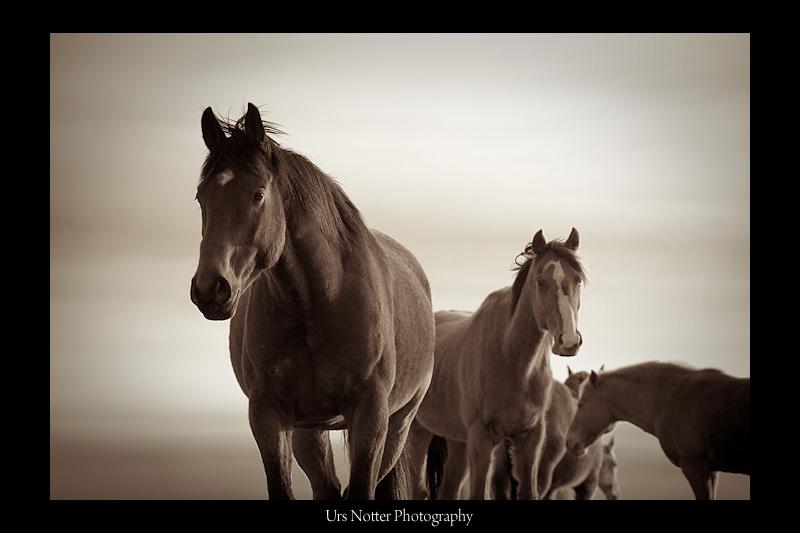 Horses of Alberta
