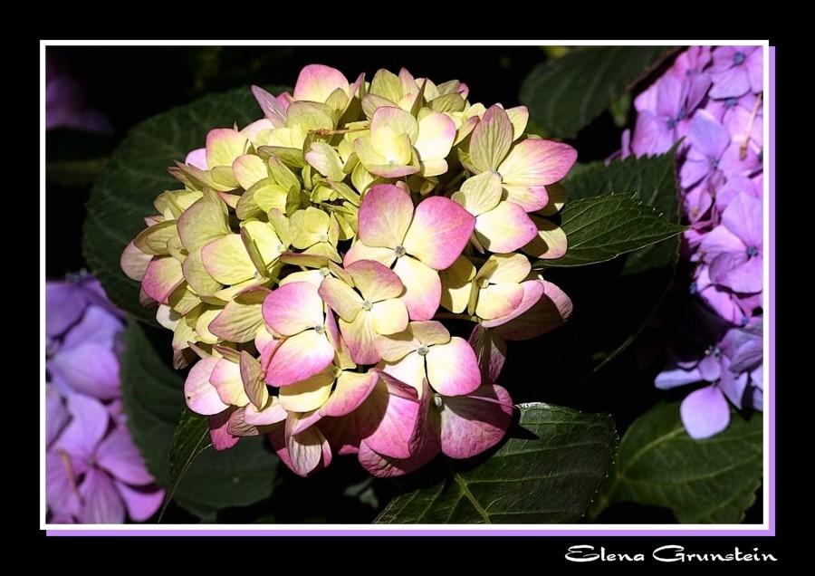 Hortencia en floración