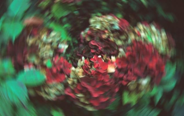 Hortensia mit Radialerunschärfe