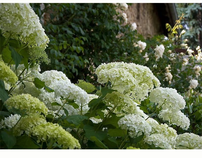 hortensie 39 annabelle 39 foto bild pflanzen pilze. Black Bedroom Furniture Sets. Home Design Ideas
