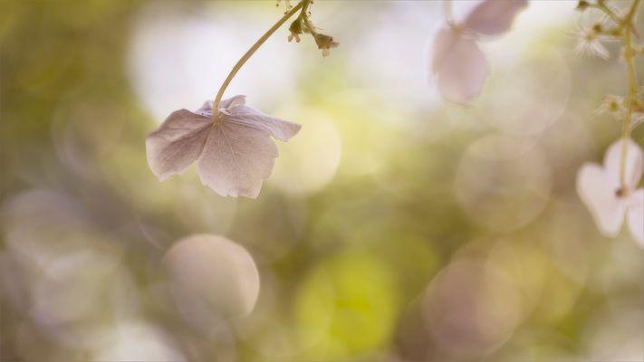 Hortensie - Blütenblatt im Gegenlicht