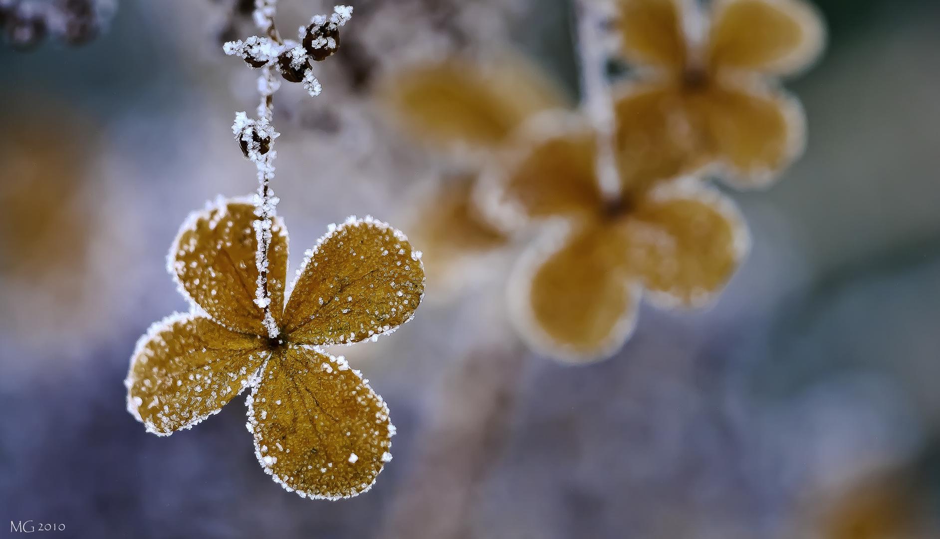 hortensie im winter foto bild natur pflanzen im. Black Bedroom Furniture Sets. Home Design Ideas