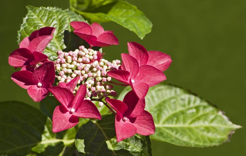 "Hortensie ""Lady in Red"" (Hydrangea macrophylla) '"