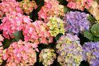 Hortensien ein Blütenmeer
