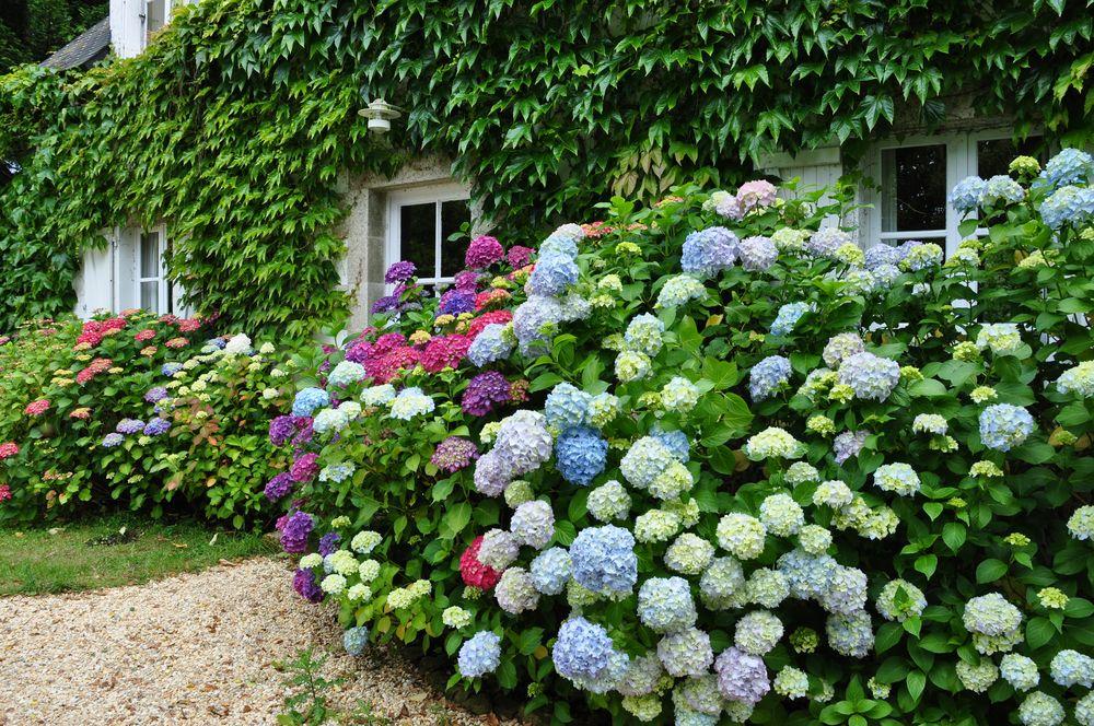 hortensien in der bretagne foto bild natur str ucher pflanzen pilze flechten bilder auf. Black Bedroom Furniture Sets. Home Design Ideas