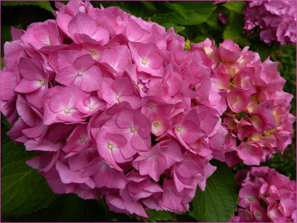 hortensien in pink foto bild pflanzen pilze. Black Bedroom Furniture Sets. Home Design Ideas