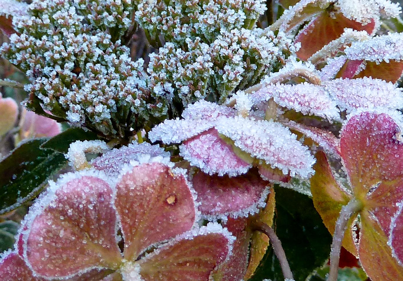 Hortensien mit Eiskristallen