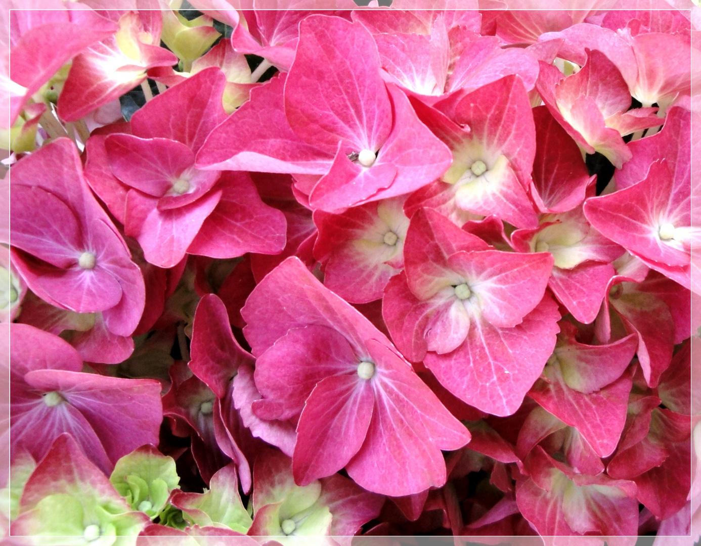 Hortensien pink . . . . . Hortensia pink
