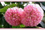 Hortensienbaum - Dombeya Wallichii