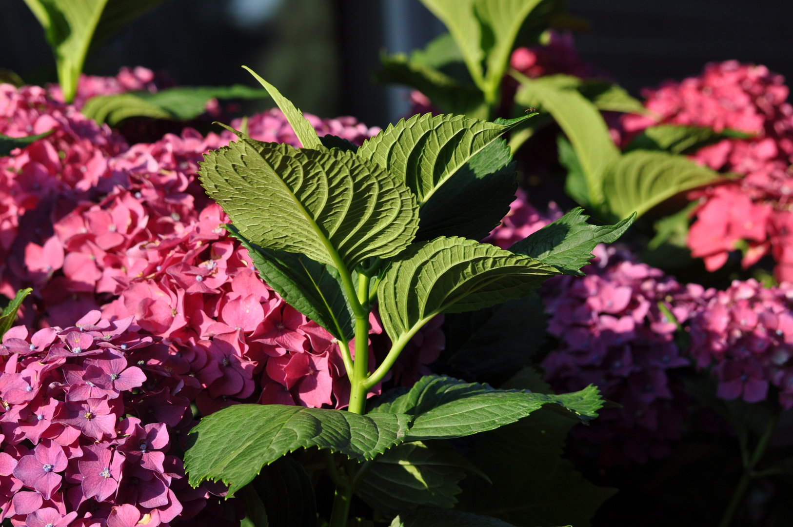 Hortensienblätter