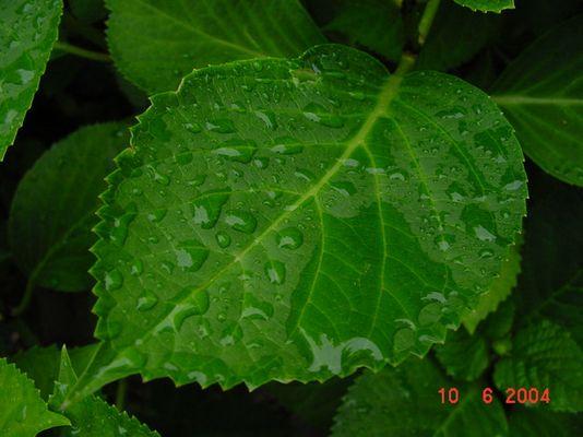 hortensienblatt mit tropfen