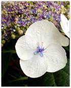 Hortensienblüte 5