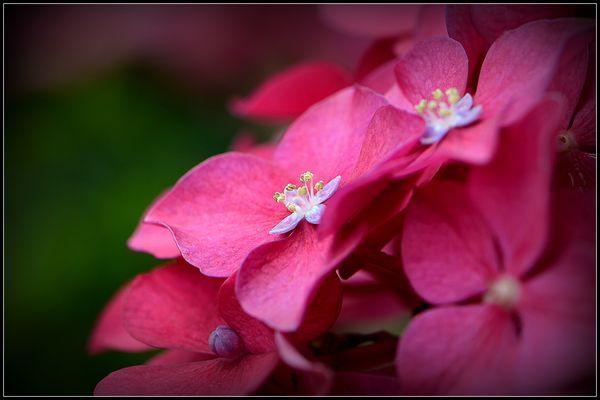 Hortensienblüte ganz nah ....