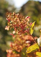 Hortensienblüte im Spätsommer