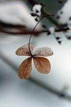 Hortensienblüte (unbearbeitet)