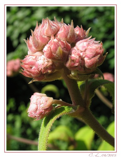 Hortensienknopse