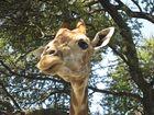 Hotel-Giraffe