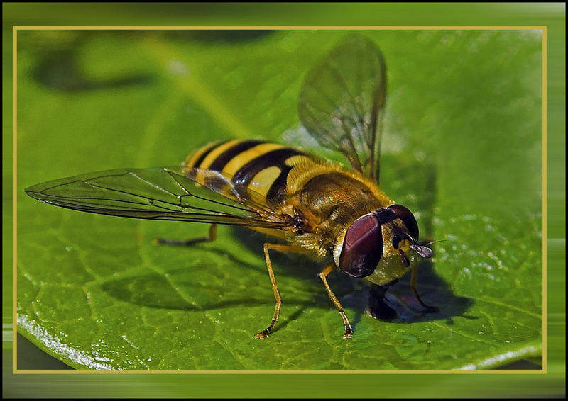 Hoverfly, close up.