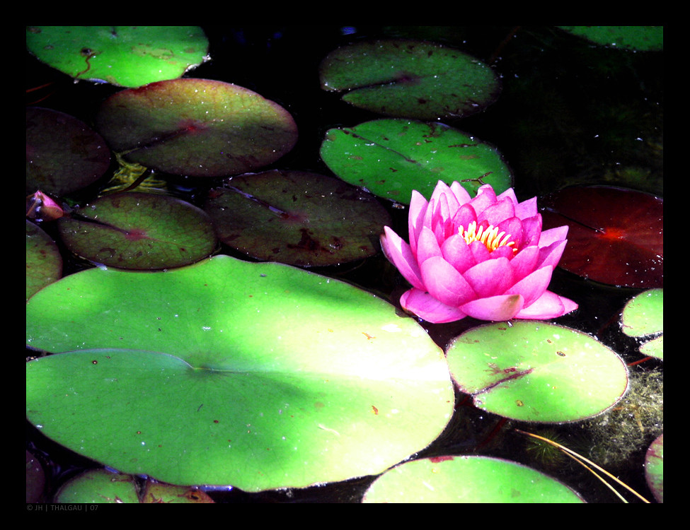 how to paint a water lily...