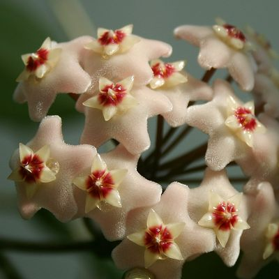Hoya Carnosa flowers