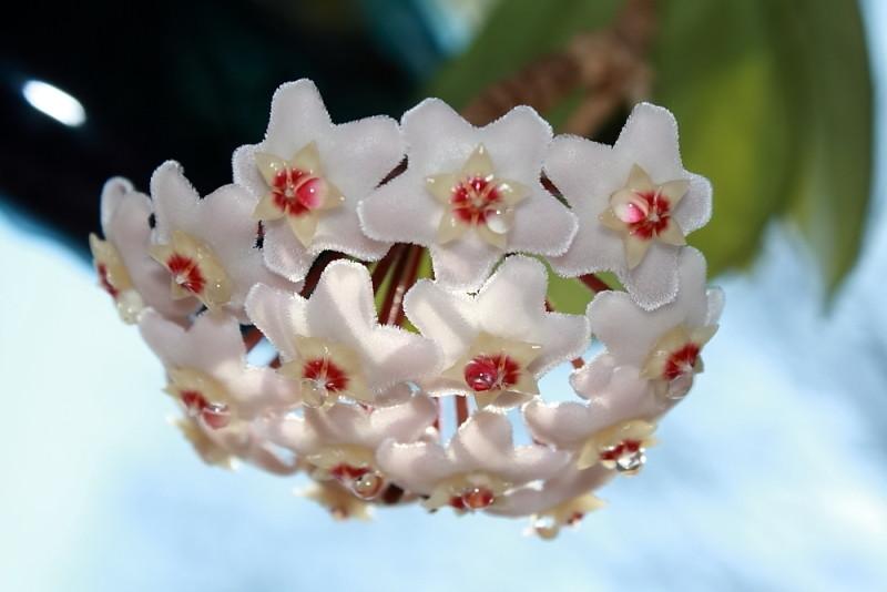 Hoya fiorita la pianta dai fiori di cera foto immagini for Pianta di cera