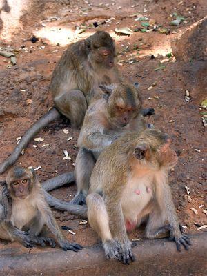Hua Hin Monkeys 1