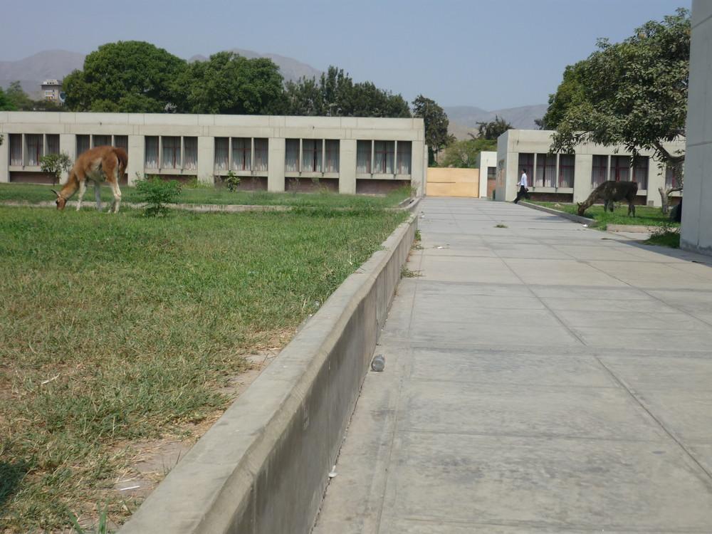huanacos en la universidad nacional agraria la molina