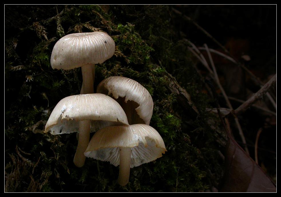 Hübsche Rarität - Clitocybula lacerata