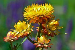 Hübsche Strohblume