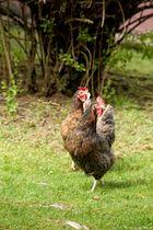 Hühner im Duett