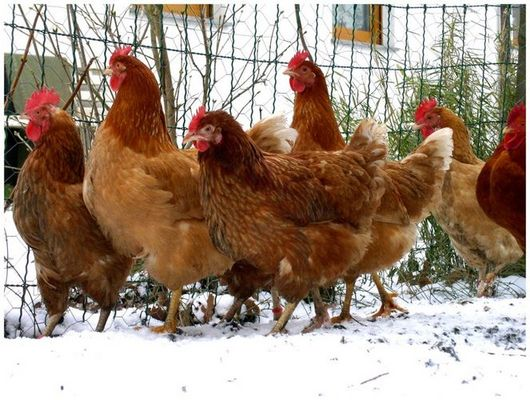 Hühner im Schnee