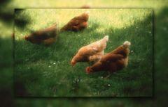 Hühner in Sunsoft