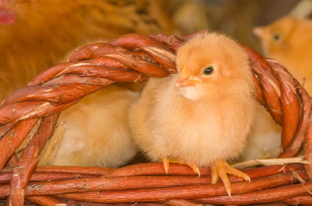 Hühner-Küken