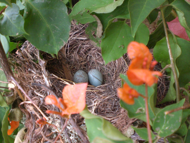 huevos de mirlo