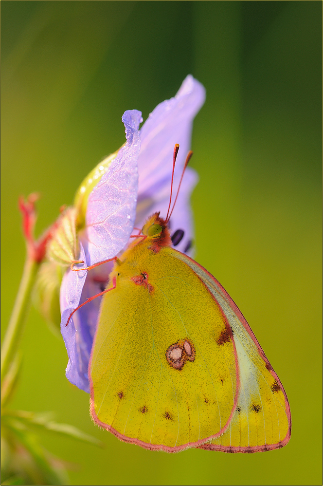 Hufeisenklee-Gelbling