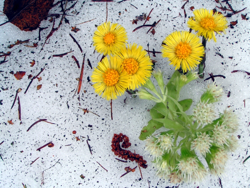 Huflattich und Pestwurze wachsen durch den Schnee