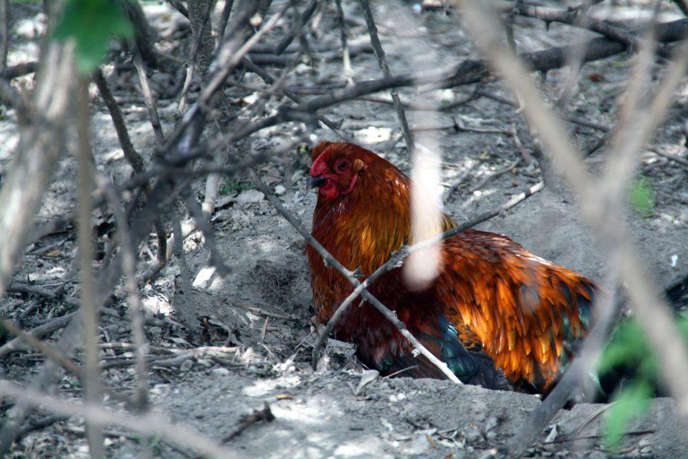 Huhn von Betti60