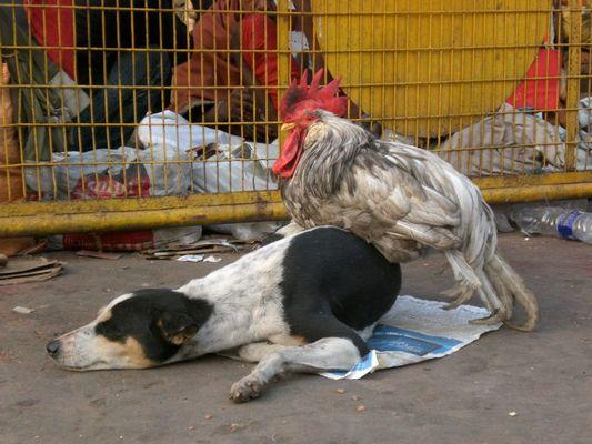 Huhn auf Hund