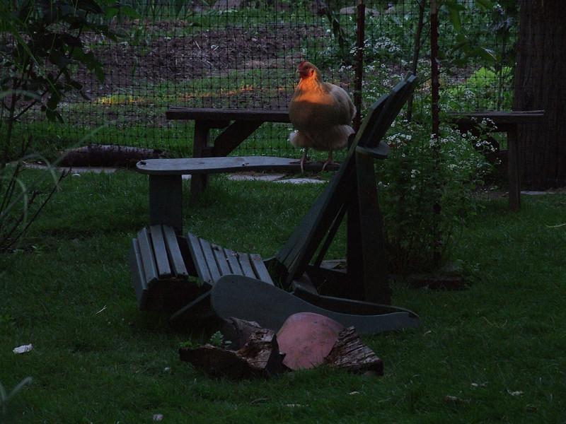 Huhn im Sonnenuntergang