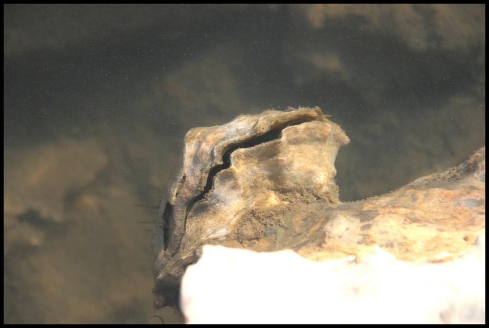 huitre
