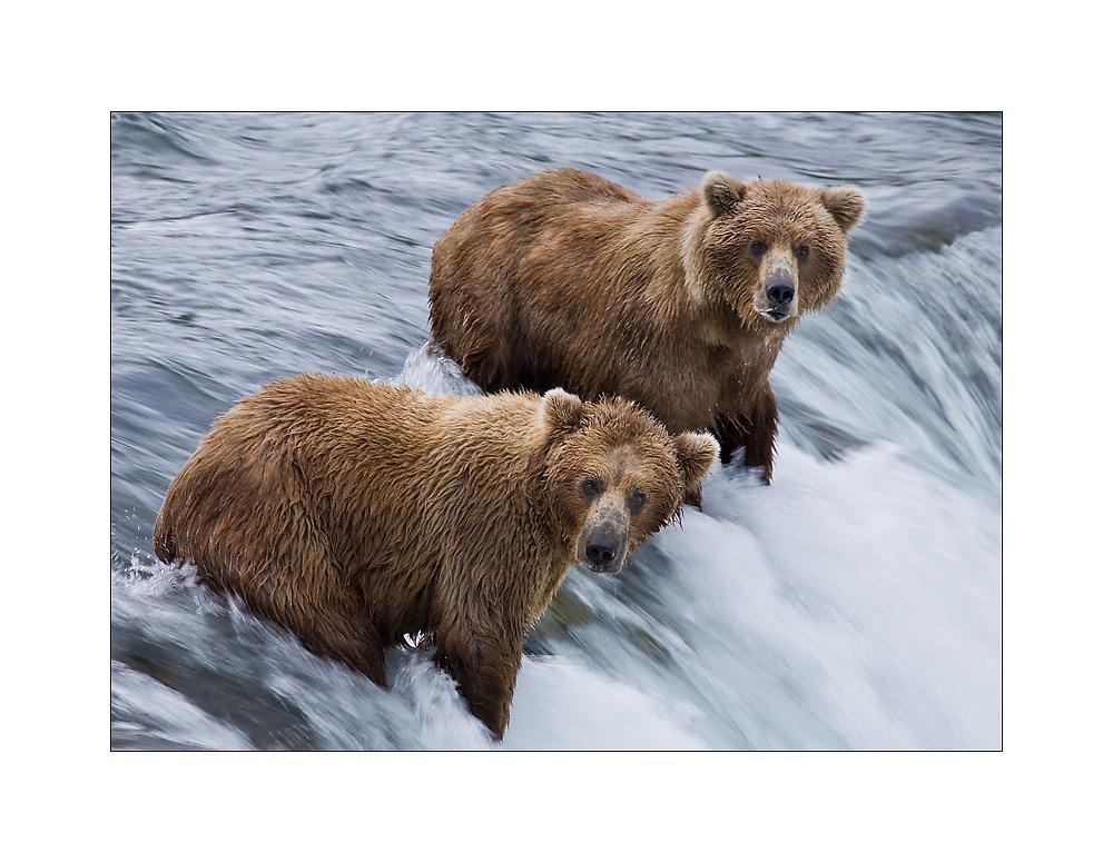... human / bear watching ...