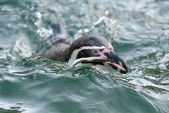 Humboldt Penguin #2