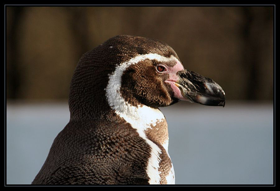 Humboldt-Pinguin ...
