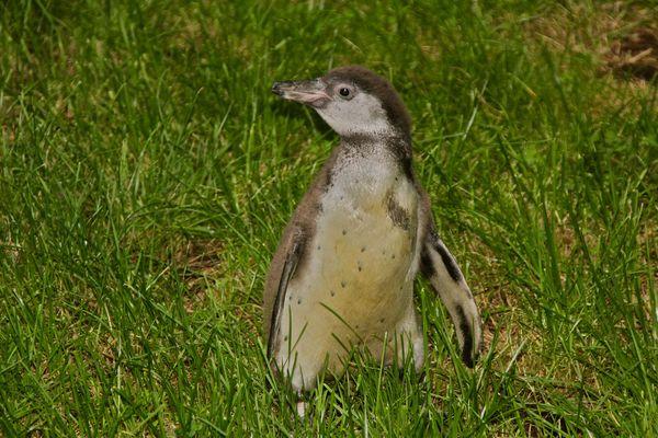 Humboldt-Pinguinbaby