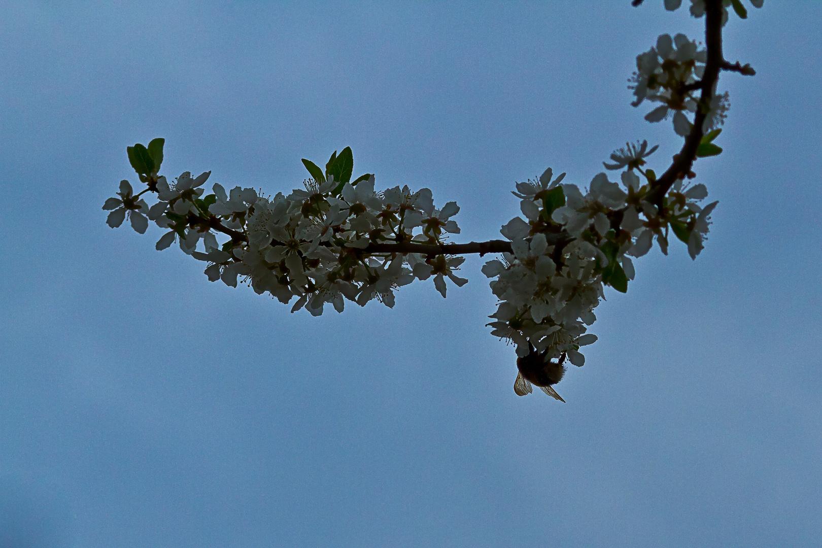 Hummel an der Blüte